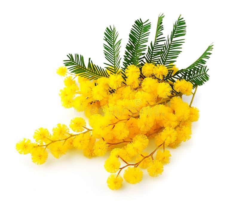 Brindille des fleurs de mimosa photographie stock