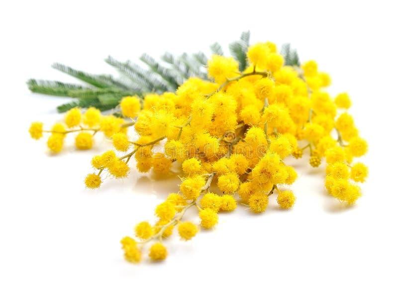 Brindille des fleurs de mimosa images libres de droits