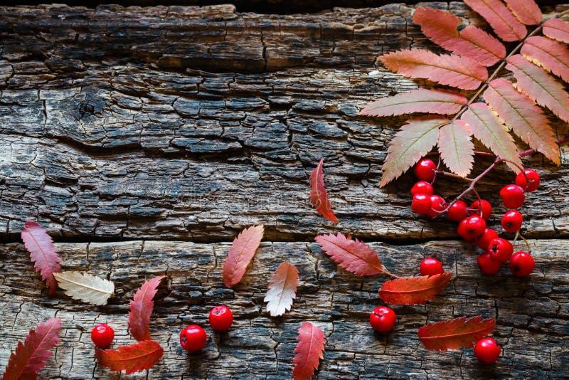 Brindille et baies de sorbe avec des feuilles d'automne photos stock