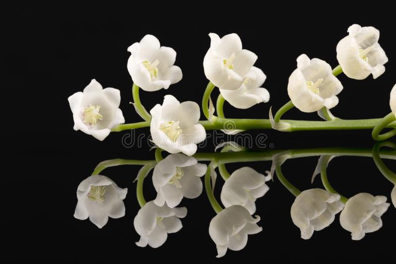 Brindille simple des fleurs de ressort du muguet d'isolement sur le fond noir image libre de droits
