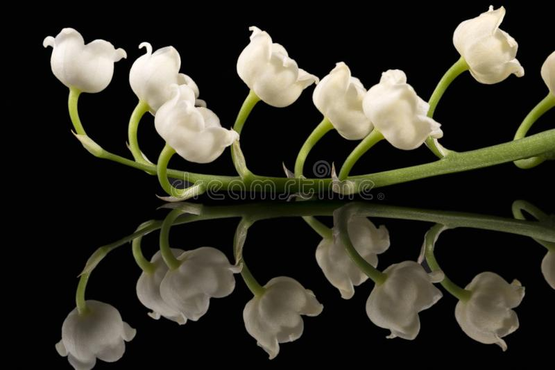 Brindille simple des fleurs de ressort du muguet de majalis de Convallaria d'isolement sur le fond noir photographie stock