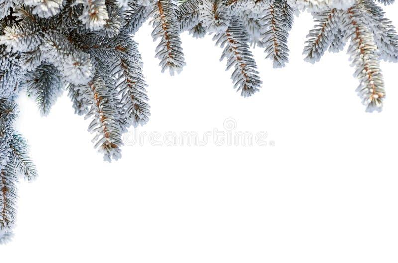 Brindilles d'arbre de sapin dans la neige, d'isolement sur le blanc image stock