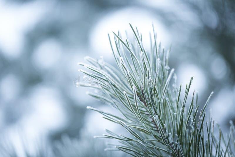 Brindilles de pin en hiver images stock