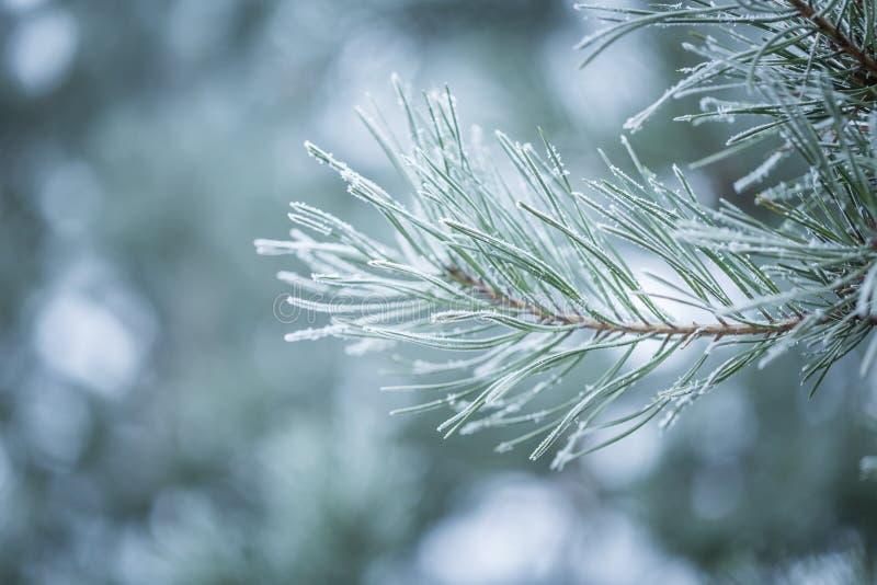Brindilles de pin en hiver photographie stock libre de droits