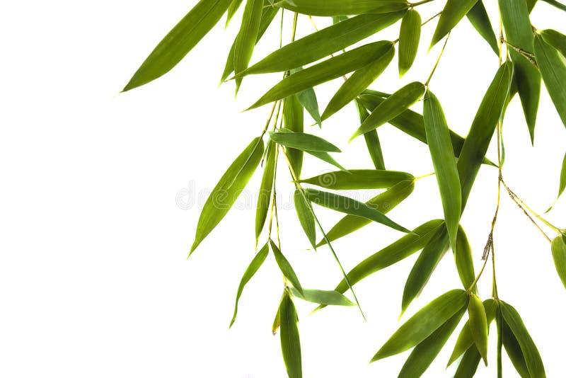 Brindilles en bambou vertes avec des feuilles photos libres de droits