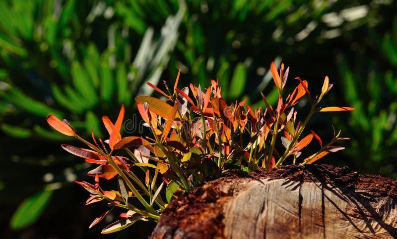 Brindilles vertes d'arbre d'eucalyptus image stock