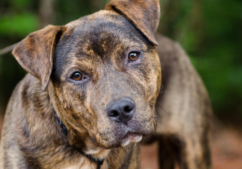 Brindle American Pit Bull Terrier mix dog portrait stock image