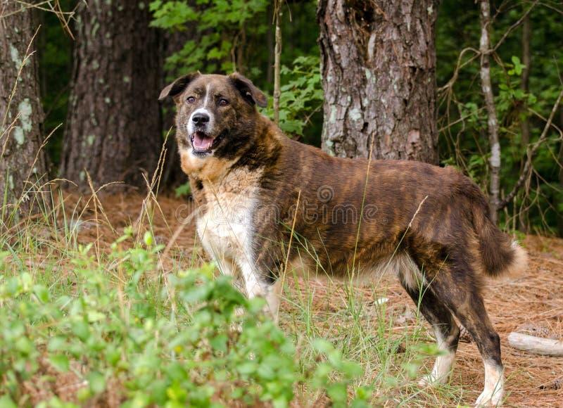 Brindle Anatolian Shepherd Pyrenees mixed breed dog. Walton County Animal Control, humane society adoption photo, outdoor pet photography royalty free stock photos