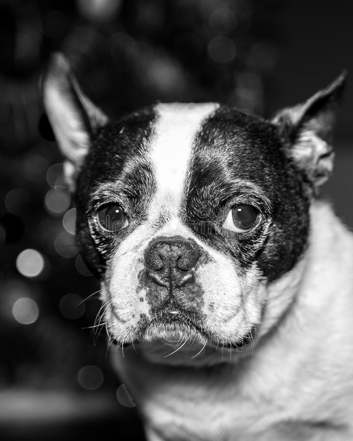 Boston Terrier portrait in black and white royalty free stock photography