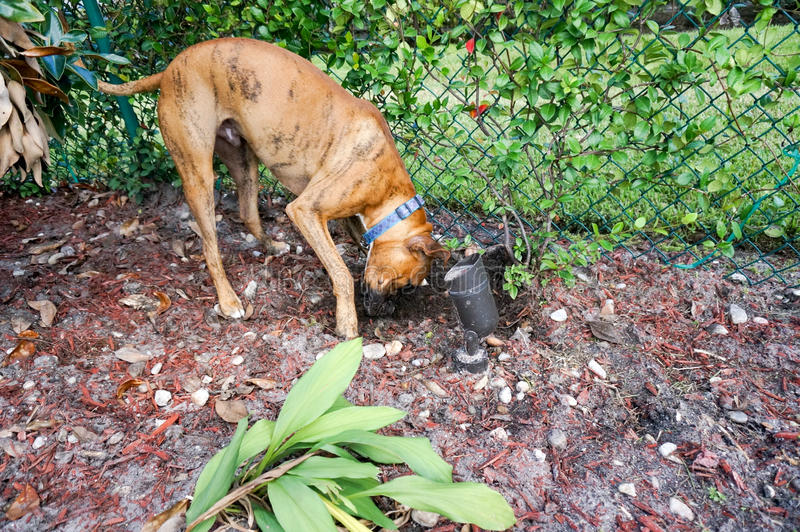 Jack Russell Terrier Digging In The Yard Stock Image ...