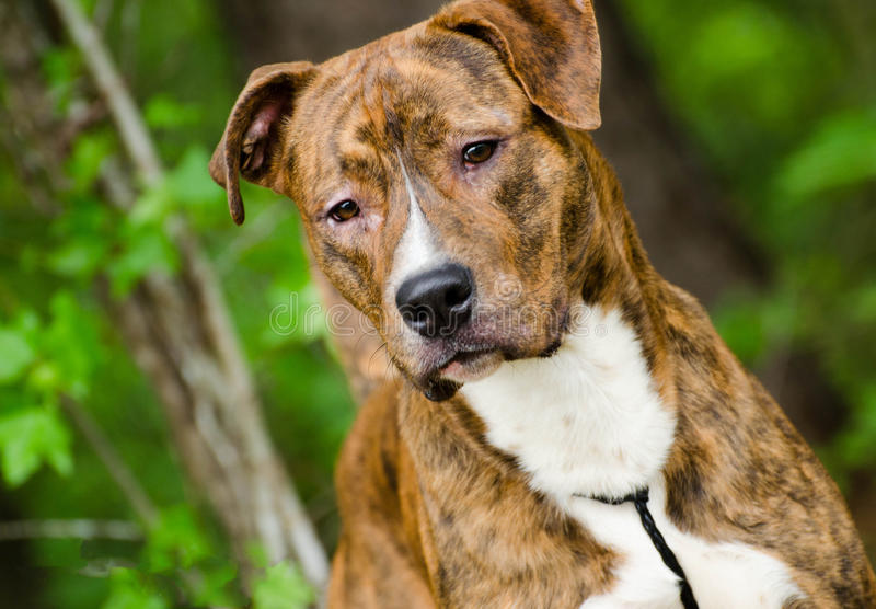 Brindle Boxer Hound mixed breed dog. Outdoor pet photography, humane society adoption photo, Walton County Animal Shelter, Georgia stock photo