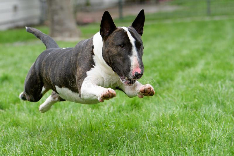 Bull terrier in full run on the grass. Brindle bull terrier in the air in full run across the grass stock photography
