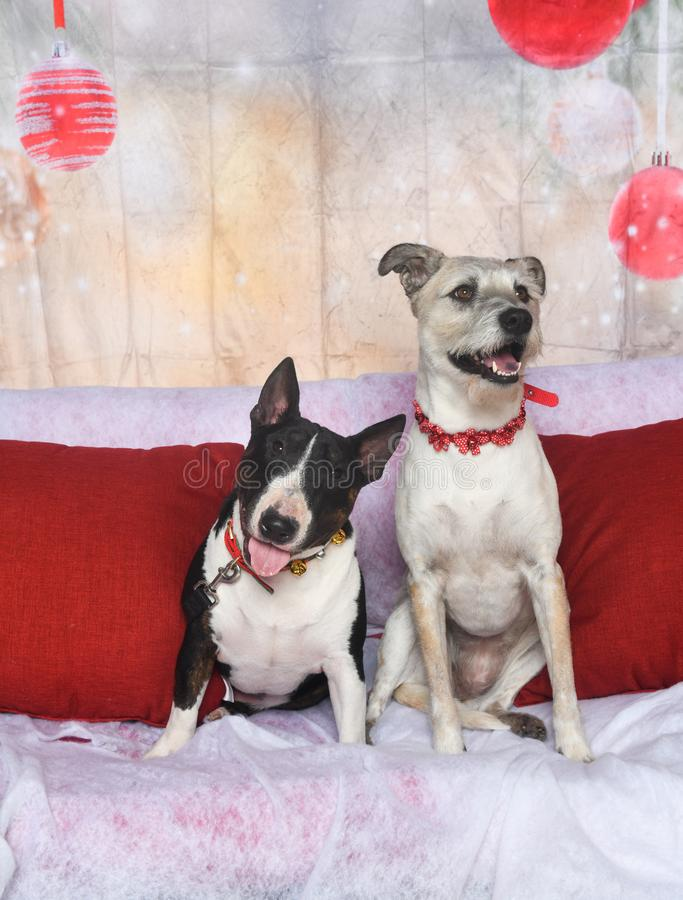 Bull terrier and his mixed breed buddy posing for Christmas. A brindle bull terrier and his terrier mix friend posed for their holiday pictures stock photo