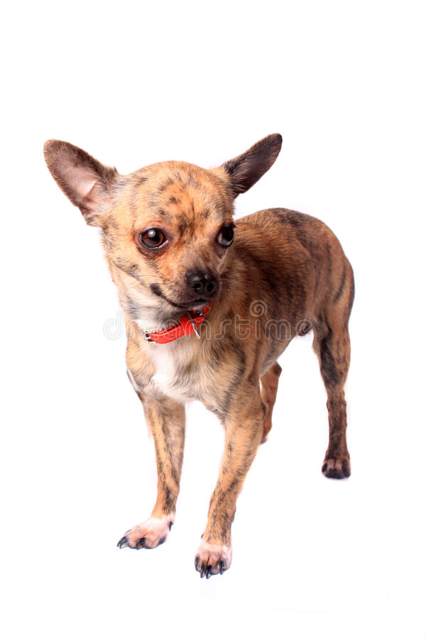 Brindle Chihuahua Stock Images
