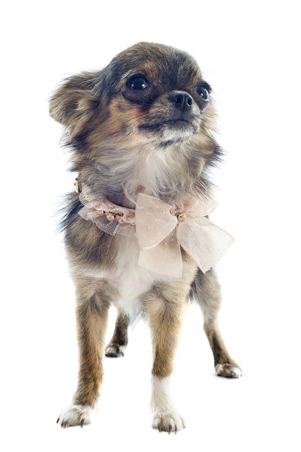 Brindle Chihuahua lizenzfreies stockbild