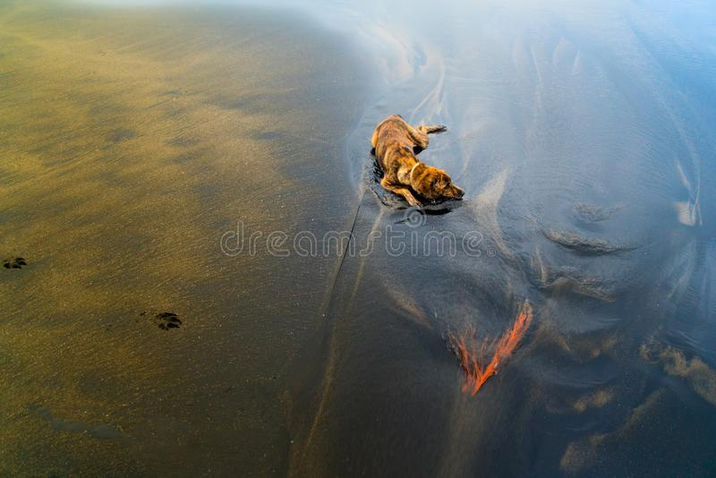 A brindle dog cooling down stock photography