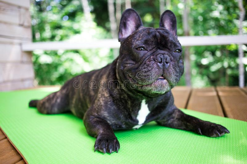 brindle French bulldog lying on the yoga carpet on the terrace in summer, dogs poses royalty free stock images