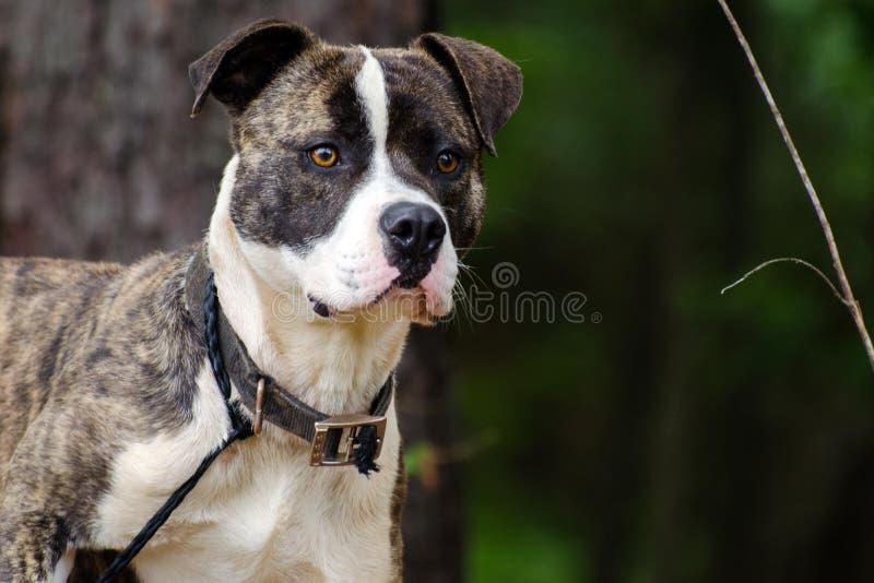 Brindle and white Boxer Mastiff mixed breed Dog. Mutt, Walton County Animal Control, humane society adoption photo, outdoor pet photography royalty free stock image