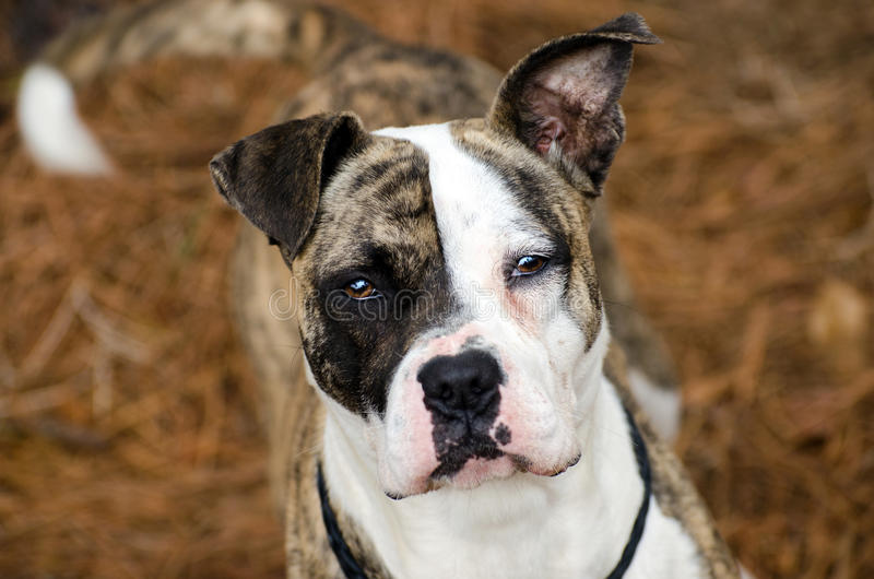 Brindle and White Boxer Terrier mixed breed dog. Walton County Animal Control, humane society adoption photo, outdoor pet photography royalty free stock photo