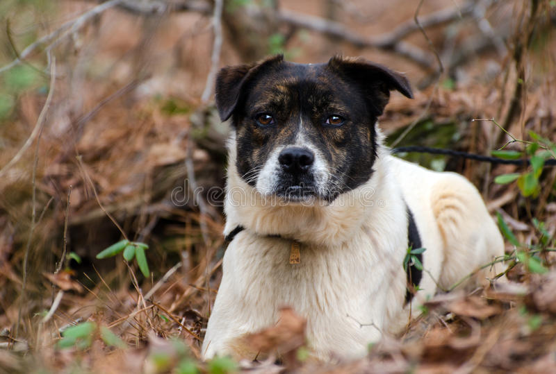 Brindle and white cattledog mixed breed Dog. Mutt, Walton County Animal Control, humane society adoption photo, outdoor pet photography stock photography