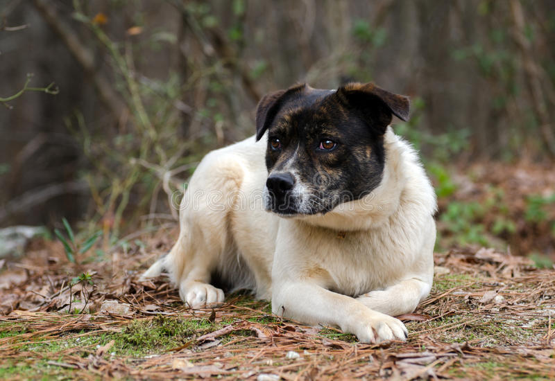Brindle and white cattledog mixed breed Dog. Mutt, Walton County Animal Control, humane society adoption photo, outdoor pet photography royalty free stock photos