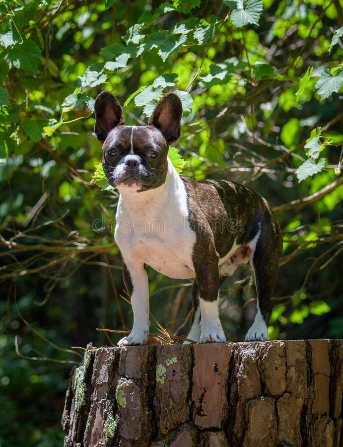 Brindle and white French Bulldog portrait. Portrait of a French bulldog on a tree stump outdoors at a park royalty free stock photo