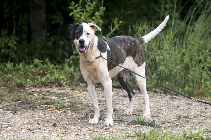 Brindle and white mixed breed female dog stock image