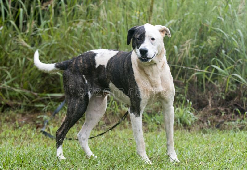 Brindle and white mixed breed female dog royalty free stock photography