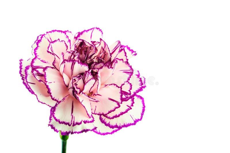 Brindle white and purple carnation on white background royalty free stock image