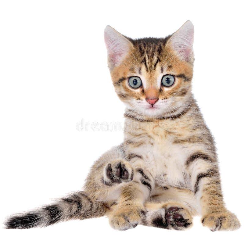 Brindled γατάκι Shorthair στοκ φωτογραφία με δικαίωμα ελεύθερης χρήσης