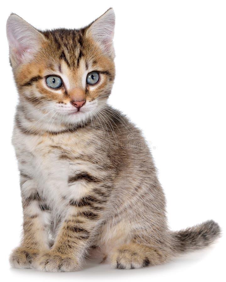 Brindled γατάκι Shorthair στοκ εικόνα με δικαίωμα ελεύθερης χρήσης