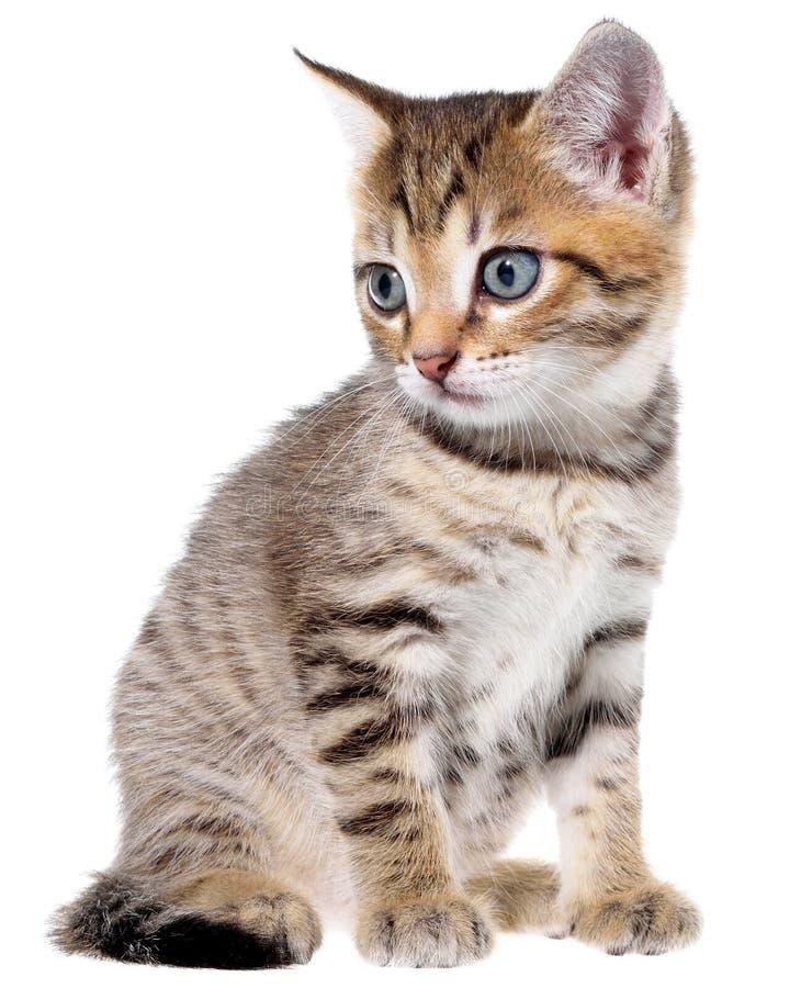 Brindled γατάκι Shorthair στοκ φωτογραφία