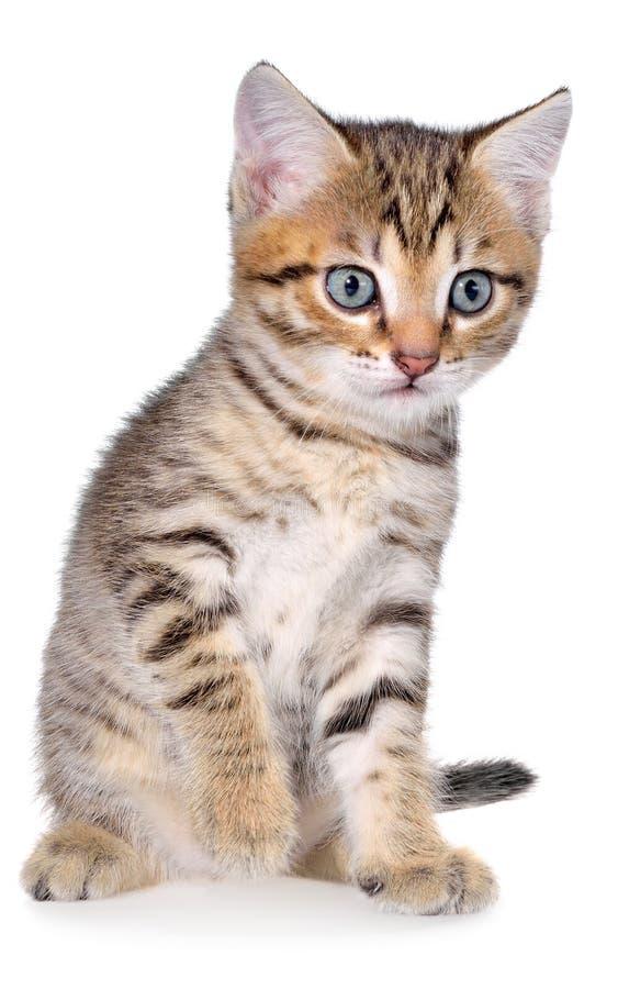 Brindled γατάκι Shorthair στοκ εικόνες με δικαίωμα ελεύθερης χρήσης
