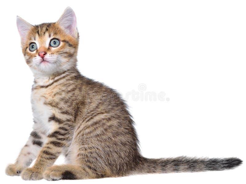 Brindled γατάκι Shorthair στοκ εικόνα