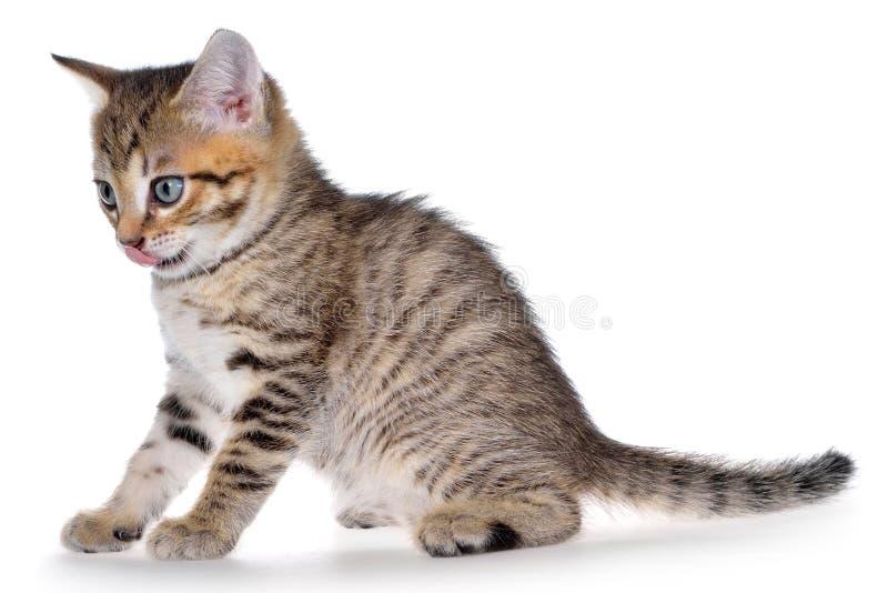Brindled στόμα γατακιών Shorthair στοκ φωτογραφίες