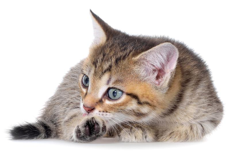 Brindled στόμα γατακιών Shorthair στοκ εικόνα με δικαίωμα ελεύθερης χρήσης