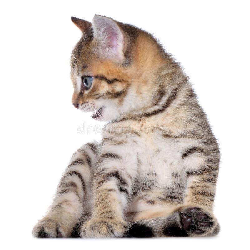 Brindled στόμα γατακιών Shorthair στοκ φωτογραφία με δικαίωμα ελεύθερης χρήσης
