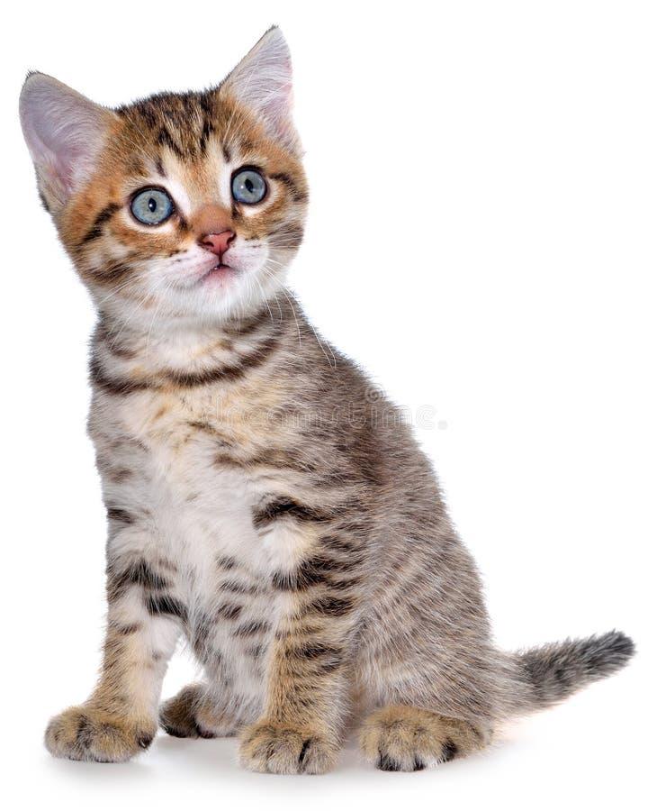 Brindled συνεδρίαση γατακιών Shorthair που απομονώνεται στοκ εικόνα με δικαίωμα ελεύθερης χρήσης
