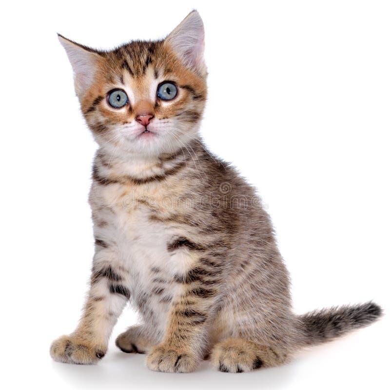 Brindled συνεδρίαση γατακιών Shorthair που απομονώνεται στοκ φωτογραφίες με δικαίωμα ελεύθερης χρήσης