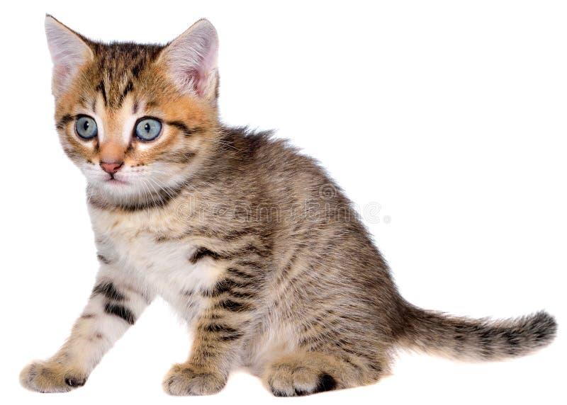 Brindled συνεδρίαση γατακιών Shorthair που απομονώνεται στοκ φωτογραφία με δικαίωμα ελεύθερης χρήσης