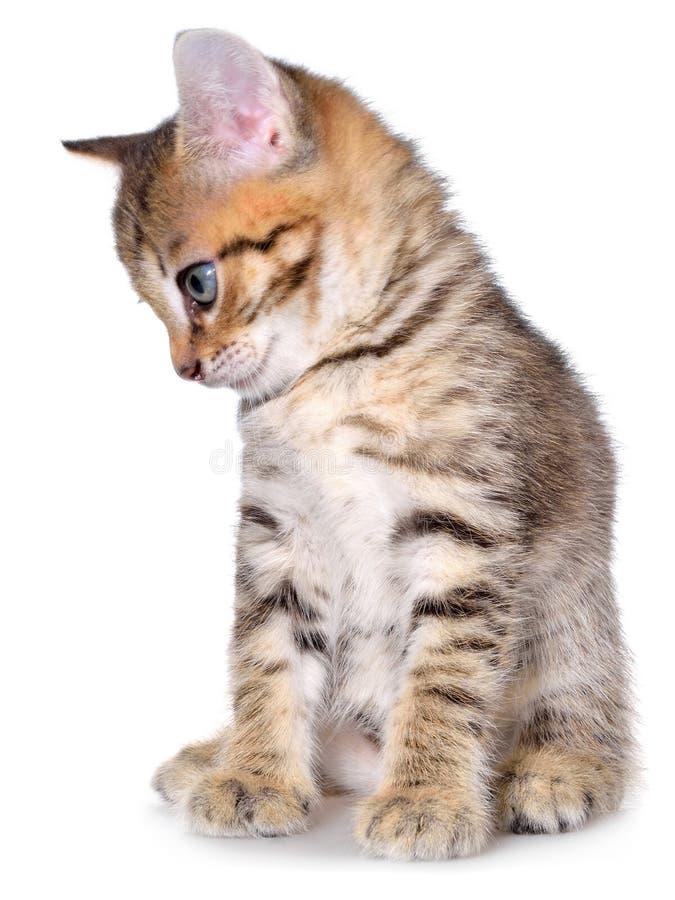 Brindled συνεδρίαση γατακιών Shorthair στοκ εικόνες με δικαίωμα ελεύθερης χρήσης