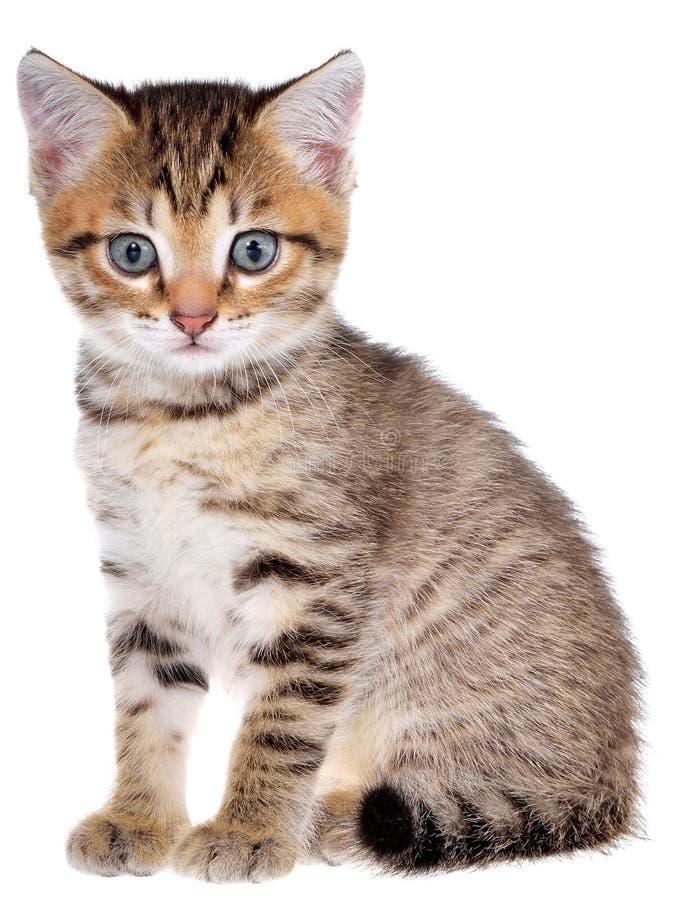 Brindled συνεδρίαση γατακιών Shorthair στοκ φωτογραφίες