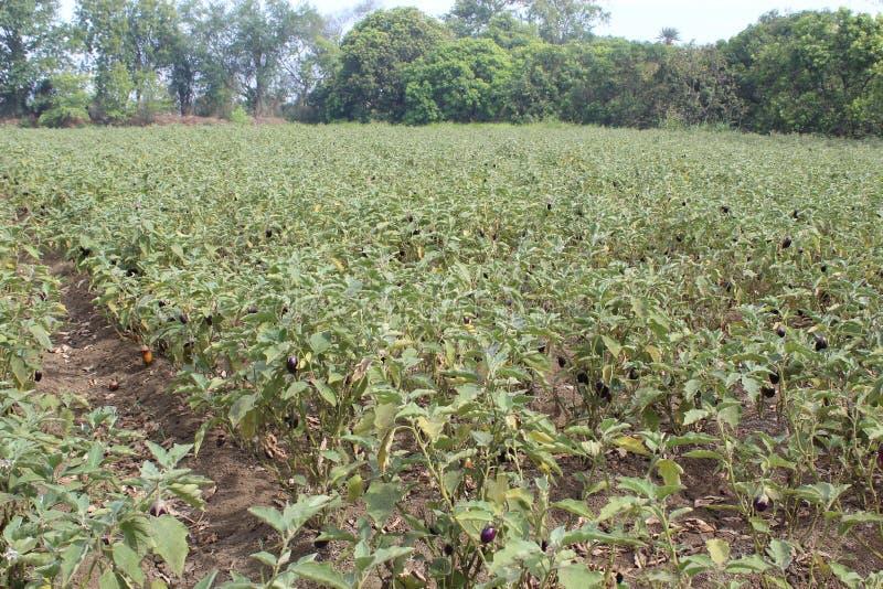 Brinjal που καλλιεργεί στη μεγάλη κλίμακα στοκ φωτογραφία