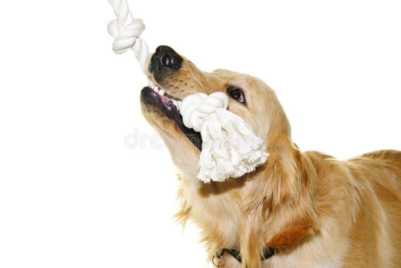 Brinquedo cortante da corda do cão do retriever dourado foto de stock royalty free