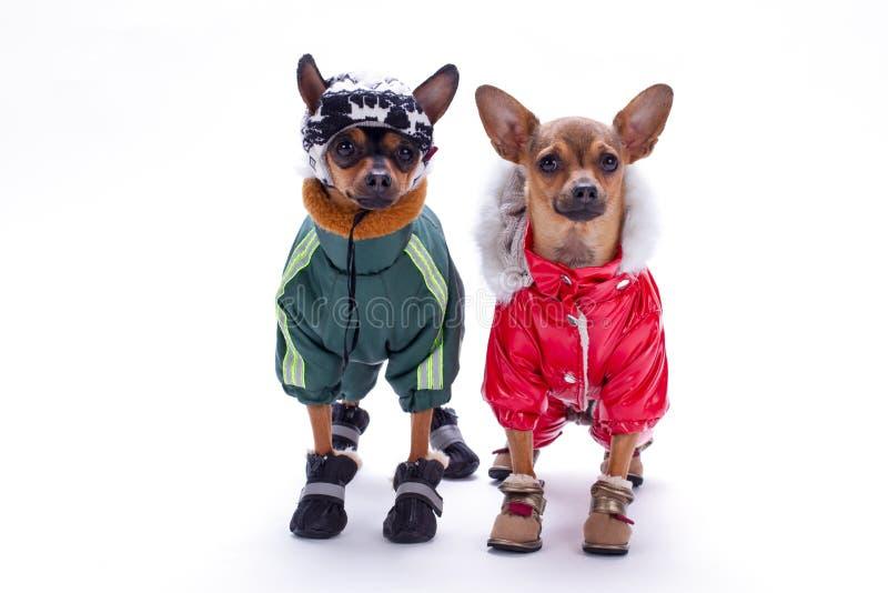 Brinquedos minúsculos da chihuahua e do terrier em trajes do inverno imagem de stock