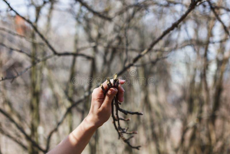 Brins des pommiers dans les mains d'une fille images libres de droits