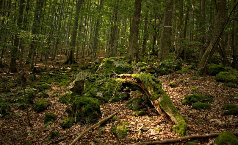 Briofite del legname fotografie stock