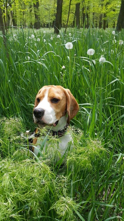 briquet mignon dans l'herbe photo stock