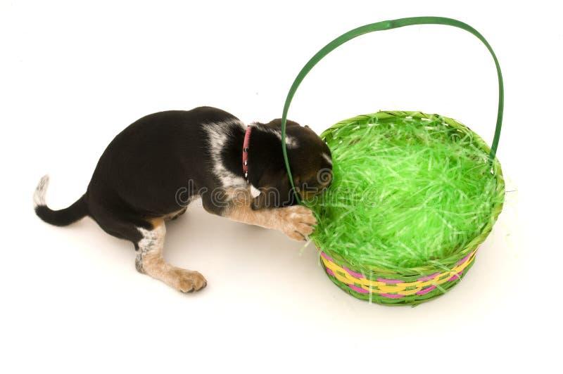 Briquet obtenant dans le panier de Pâques image stock