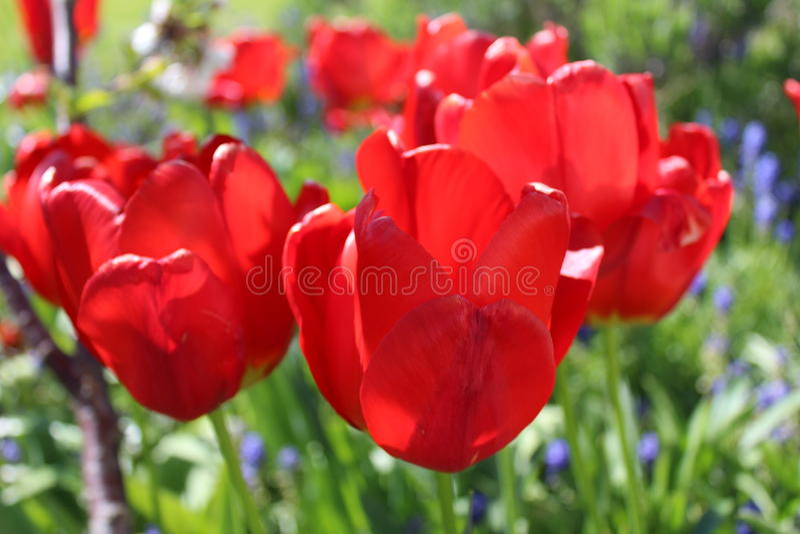 Brisa da mola através de um jardim da tulipa fotos de stock royalty free